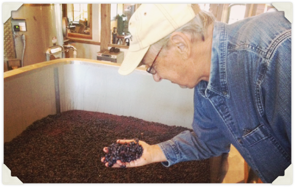 George Noble inspecting grapes